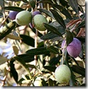 250px-Olivesfromjordan